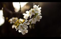 Cherry.Blossom (ボケ) (Audrey Meffray) Tags: light sky sun tree fleur fruit canon cherry 50mm blossom bokeh or cherryblossom sakura soirée arbre cerise cerisier 50mm18ii 50mmf18ii fruitier canon450d