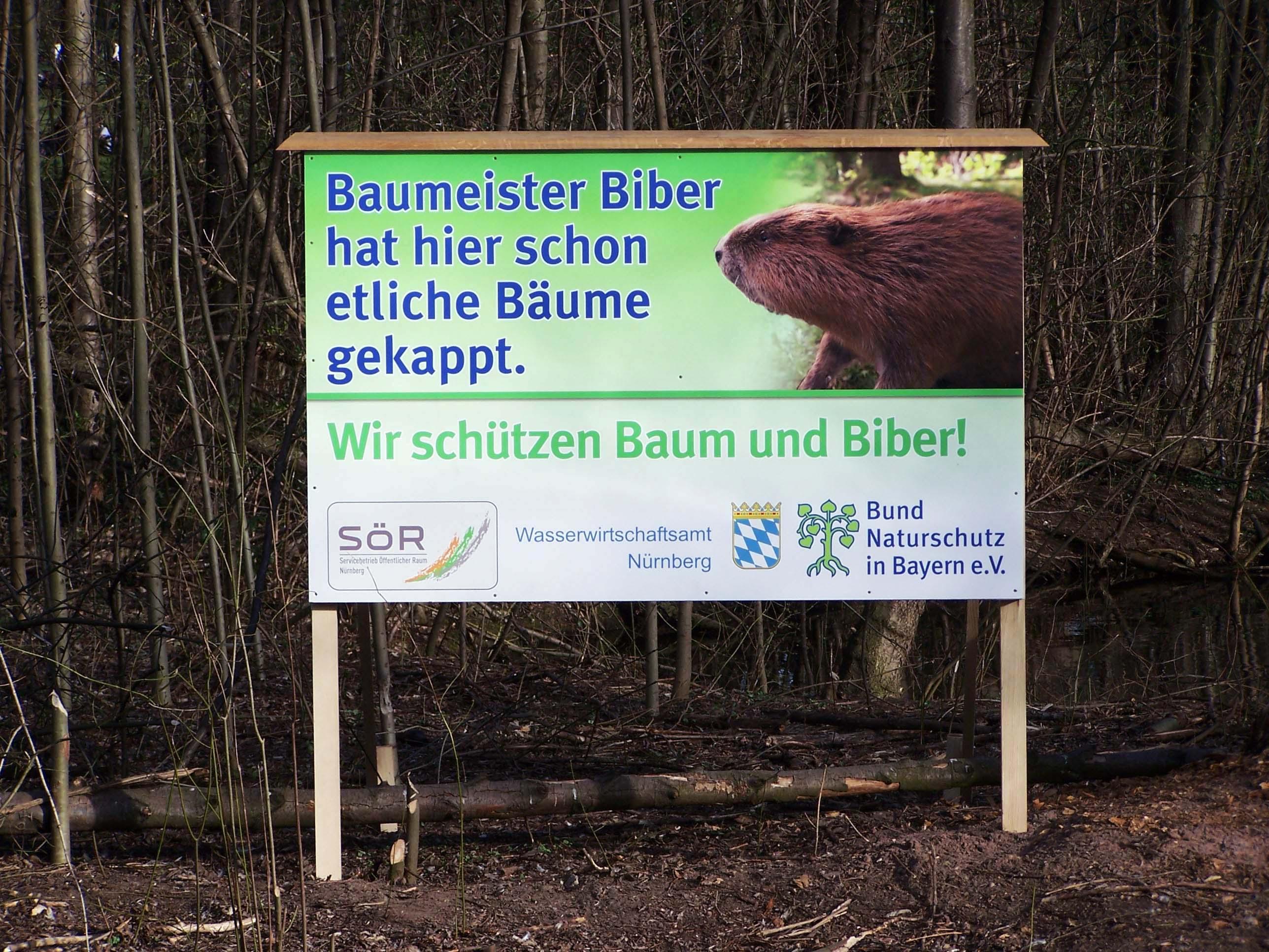 Baumeister Biber hat hier schon etliche Bäume gekappt. Wir schützen Baum und Biber!