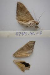 RZ113 Oxyodes scrobiculata (nymsysgro) Tags: china noctuidae erebinae oxyodes scrobiculata unplacedtaxa