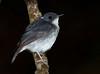 Little slaty flycatcher (Bram Demeulemeester - Birdguiding Philippines) Tags: philippines mindanao zamboanga bramdemeulemeester birdguidingphilippines philippinesbirdingtours littleslatyflycatcher pasonancareserve