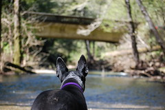 thoughts of a pup (coalphotos) Tags: bridge trees wild dog nature water beautiful river fun hiking exploring skippingschool