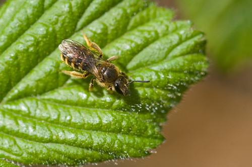 Halictus rubicundus