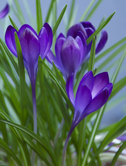 Looking Up (Explored) (lclower19) Tags: flower green burlington spring nikon purple massachusetts down lookingup crocuses d90 18135mm ourdailychallenge