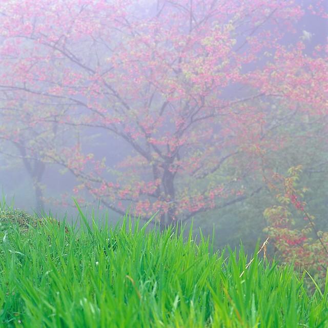 阿里山 霧中櫻 --第3捲