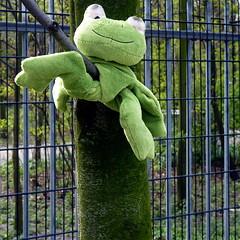 Tree frog (Akbar Sim) Tags: holland netherlands nederland denhaag frog stuffedanimal lostandfound thehague kikker knuffel akbarsimonse akbarsim