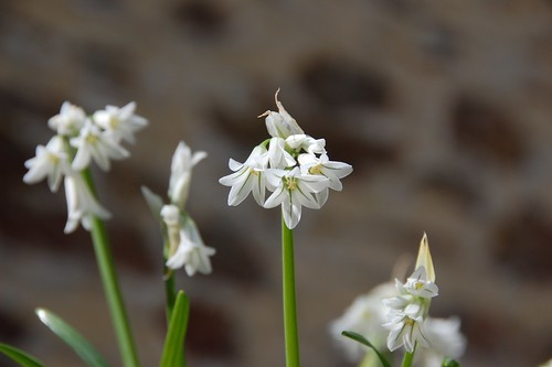 three cornered garlic