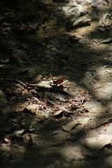 Nel bosco (Davide Curnajas) Tags: wood canon butterfly eos path sentiero animalplanet farfalla bosco 550d