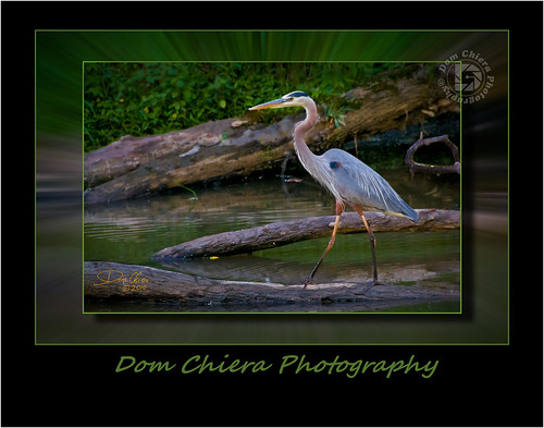 """The Great Blue Heron"""