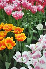 Keukenhof (CarnageesLTC) Tags: flowers parque orange white flores color verde green blanco amsterdam rosa holanda naranja keukenhof bulbos tulipanes