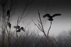 A53F9136 Turkey Vultures (~ Michaela Sagatova ~) Tags: bird nature thunderstorm dundas birdofprey turkeyvulture dvca michaelasagatova