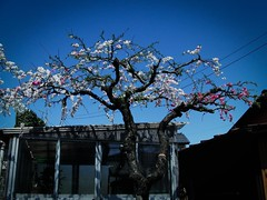 Sakura Tree, Ageo, Saitama (hidesax) Tags: blue sky house tree japan cherry blossoms casio sakura saitama roadside vignette toolshed ageo exfc100 hidesax