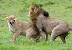 Mating Lion & Lioness, Ngorogoro Crater