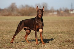 (Liisaz88) Tags: brown chocolate doberman dobermann dobbie dobermanns