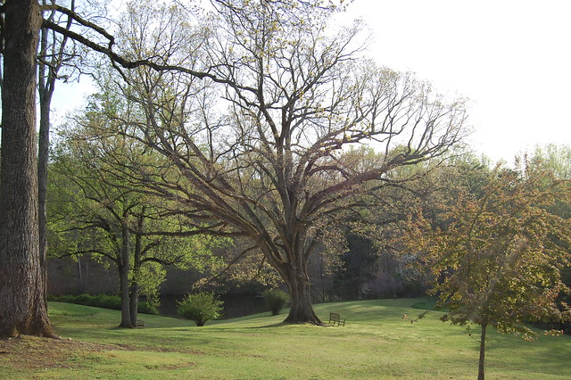 An oak older than the United States