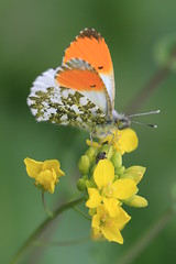 Oranges And Lemons (Chris*Bolton) Tags: orange nature butterfly insect soe orangetip avonmore rathdrum golddragon mywinners platinumphoto theperfectphotographer goldstaraward