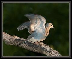 Morning Dove (billkominsky ) Tags: morning bird nature birds dove wildlife mywinners beautifulcapturegroup birdsinsideandoutside