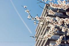({Larysa}) Tags: flowers canon arbol 50mm flore contrapicado almendro lvm