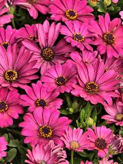 Springfields Arican Daisey (saxonfenken) Tags: pink flowers many several daisy 175 challengewinner friendlychallenge thechallengefactory yourock1st storybookwinner pregamewinner 175flowers
