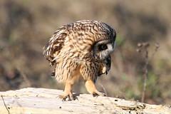 Snack time approacheth...... (Paridae) Tags: owl birdsofprey shortearedowl birdsofbritishcolumbia birdsofboundarybay