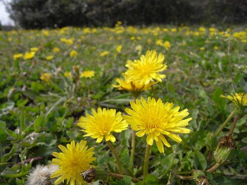 春の花々@明日香村-08