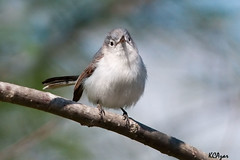 Blue-gray Gnatcatcher (Kelly Colgan Azar) Tags: usa spring pennsylvania breeding april migration chestercounty bluegraygnatcatcher polioptilacaerulea
