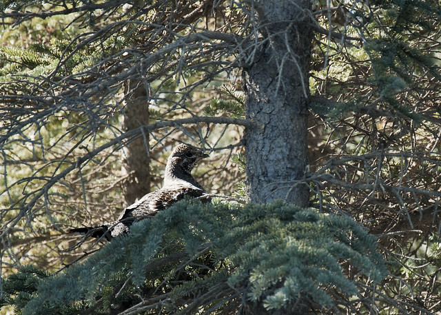 Treed Spruce Grouse