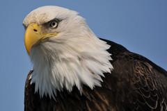 Bald Eagle (alaska_turley) Tags: bird alaska eagle wildlife bald homer
