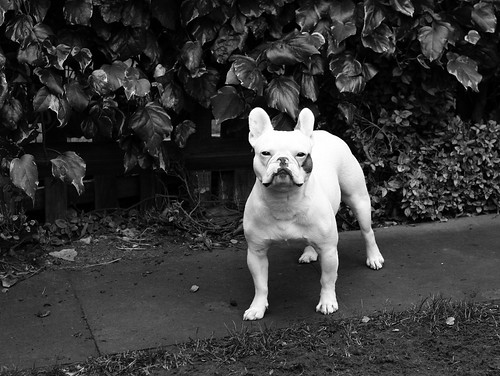French Bulldog - (Day 8 Holiday 2011)