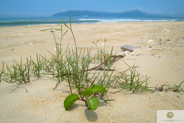 seashore paspalum on the seashore