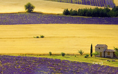 Lavender fields near Sault, Provence-Alpes-Cote d'Azur, France