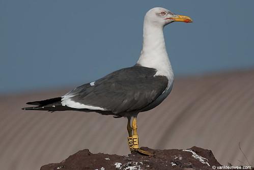 Lesser Black-backed Gull, (L.f. graellsii), 7cy, Y[E060]Y[E]