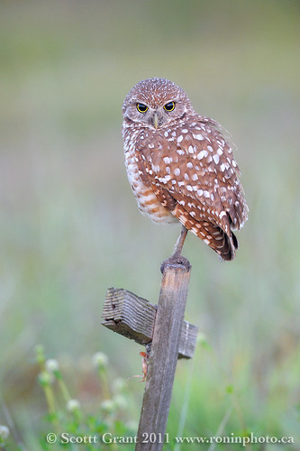 Early Morning Burrowing Owl by Scott Grant