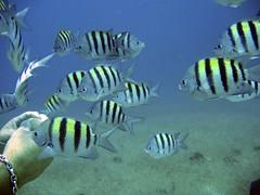 fish animals holidays jamaica reef ochorios