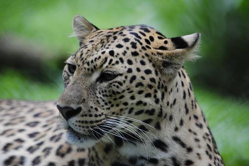 Leopardo - Differenza tra ghepardo e leopardo