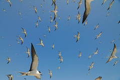 Invisible Forces (Joshua Cripps) Tags: birds island flock flight tropical handheld tern seabirds sootyterns nikkor18200 nikond300 nationalmarinesanctuary papahanaumokuakea