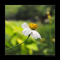 I just realized my love for you is true! (e.nhan) Tags: flowers light white flower art nature yellow closeup daisies landscape colorful colours dof bokeh arts daisy backlighting enhan
