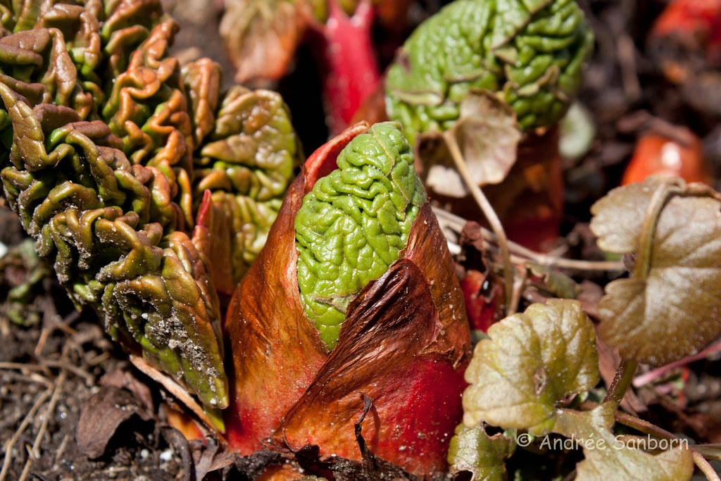 Rhubarb leaves unfolding (11 of 14).jpg