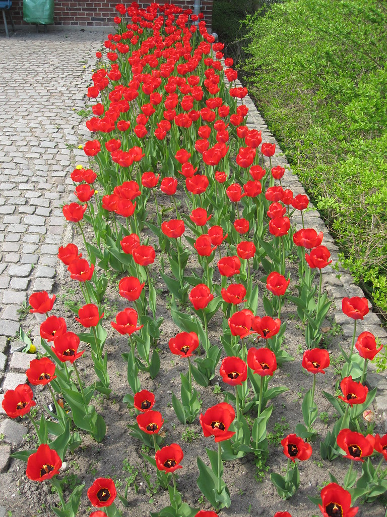 Tulips in Roskilde