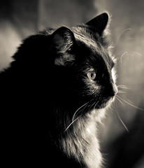 Black Cat Portrait in B&W (mjkjr) Tags: blackandwhite bw reflection monochrome cat blackcat fur lowlight furry feline afternoon dof bokeh availablelight fluffy whiskers handheld f22 jingle mycat ef50mmf18ii catseye schrodinger windowlight petportrait naturallighting catportrait 500d domesticlonghair niftyfifty t1i mjkjr httpwwwflickrcomphotosmjkjr