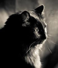 Black Cat Portrait in B&W (mjkjr) Tags: blackandwhite bw reflection monochrome cat blackcat fur lowlight furry feline afternoon dof bokeh availablelight fluffy whiskers handheld f22 jingle mycat ef50mmf18ii catseye schrodinger windowlight petportrait naturallighting catportrait 500d domesticlonghair niftyfifty t1i mjkjr httpwwwflickrcomphotosmjkjr