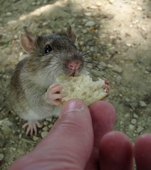 Ratatouille (Lunatique-girl) Tags: food france macro cute love nature animal fauna canon rodent interestingness pain rat natur adorable moustache manuel franais pattes mange donner mignon ratatouille doigts sauvage faune oreilles museau rongeur intressant borddemarne flickraward mygearandme flickrawardsgallery