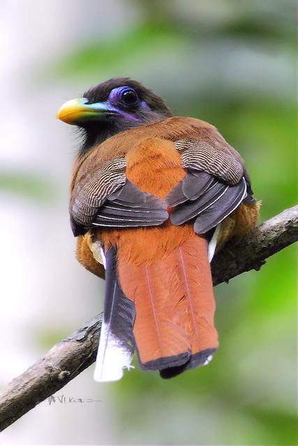 Philippine Trogon (Harpactes ardens)