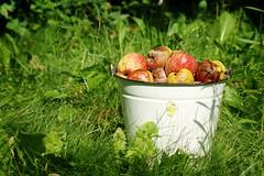 Juicy bucket (Sylvain photostream) Tags: red summer white green apple grass rouge bucket pentax vert blanc herb spoiled ete pomme herbe pourri seau pentaxk10d afficionados justpentax pentaxart