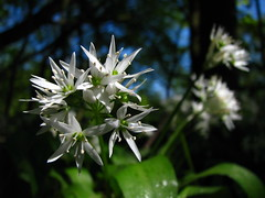Allium ursinum (--Tico--) Tags: ramsons alliumursinum daslook alliaceae
