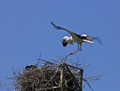 costruzione del nido (Antonio clic) Tags: moving gmt mygearandme