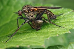 Dance Fly With Prey (steb1) Tags: macro nature insect fly prey diptera empis dancefly