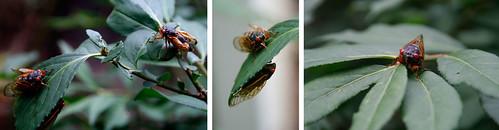 3.Cicadas