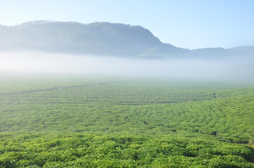 Tea plantation at dawn