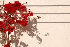 shadows (eliesporta) Tags: shadow flower blanco composition pared rojo nikon ombra flor sombra greece grecia kalymnos elies eliesporta