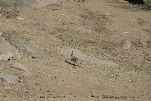 Заяц-толай (возможно)